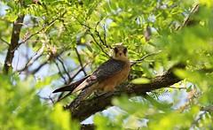 R91A3798 (chavko) Tags: jozefchavko canon flickr bird hawk chavko falco vespertinus redfooted falcon slovakia sky animal photo tree forest people