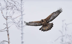 Golden Eagle (Jyrki Liikanen) Tags: bird birds wildbird eagle eagles goldeneagle winter winterwonderland flying wildlife wildlifephotography wildnature naturephotography nature naturephoto wings feather