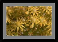 Aeonium, Garafía, Isla de La Palma (Bartonio) Tags: nikkormicro60mm28 sonya7rii aeonium fleur flor flower holochrysum macro