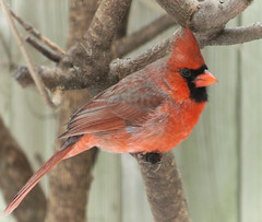 Northern Cardinal (mahar15) Tags: northerncardinal malenortherncardinal cardinal red bird wildlife nature outdoors