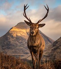 The Stag (GenerationX) Tags: argyll barr canon6d dalness glenetive highlands neil reddeer scotland scottish scottishreddeer stobnabròige antlers buck clouds deer grass horns landscape mountains sky stag