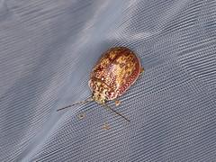 Paropsis charybdis (dhobern) Tags: 2019 act australia coleoptera january namadginationalpark chrysomelidae chrysomelinae paropsischarybdis paropsina