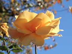 Sunshine on a Stem (Bennilover) Tags: rose roses sunny sunshine blue skies january california happy favorite flower flowers sunday