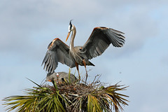 a beautiful pose (Dianne M.) Tags: gbh nature nest wind feathers plumage wings viera florida