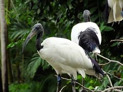 Ibis sacré 2 (Jean-Daniel David) Tags: oiseau échassier ibis ibissacré noiretblanc closeup grosplan bokeh feuille feuillage vert verdure duo profil france pierrelatte drôme