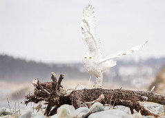 Happy Superb Owl Day! (PeterBrannon) Tags: beach bird birdphotography buboscandiacus canada lawrencetown nature novascotia snow snowyowl takeoff wildlife wings winter d7000 driftwood eyecontact morning owl rocks