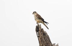 American Kestrel (Falco sparverius) (Kremlken) Tags: falcons nikon500 neotropical caribbean birds birding birdwatching falcon
