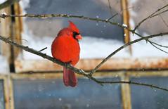 Northern Cardinal (Cardinalis cardinalis) (Kremlken) Tags: winter snow cardinals northwestpa pennsylvania birds birding birdwatching nikon500