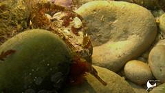 Marinha-comum / Greater pipefish (duarterodrigues) Tags: underwater mergulho scuba dive sesimbra river gurara haliotis sony rx 100 wildlife marine marinha vida peixes moluscos polvo cantaril rascasso salmonete peixe porco safio congro choco cuttle fish octopus conger pseudobalistes flavimarginatus triggerfish european cuttlefish alimento macro debaixo dágua animal comum greater pipefish portinho arrábida setúbal