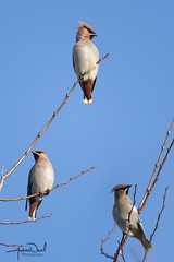 Perched Waxwing (AndyNeal) Tags: animal wildlife nature bird waxwing winter wintervisitors essexwildlifetrust essex