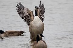 7K8A1156 (rpealit) Tags: scenery wildlife nature edwin b forsythe national refuge brigantine canada geese bathing goose bird