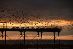 Starlings circulating over the end of the pier... (karen leah) Tags: starlings murmuration flight bird group nature wildlife outdoors sunset dusk aberystwyth ceredigion pier cardiganbay winter