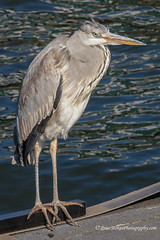 Grey Heron in Amsterdam (Peter.Stokes) Tags: colour europe landscapes nature outdoors photo photography river sky spring vacations water bird grey heron amsterdam landscape