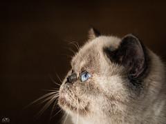 little Joy (stein.anthony) Tags: animals cats katzen tierfotografie closeup closeups portrait persianexotic