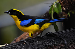 The Blue-winged Mountain Tanager (Anisognathus somptuosus) (mharoldsewell) Tags: 100400mm 2018 anisognathussomptuosus bluewingedmountaintanager d7200 ecuador nikon sigma tandayapa bird birds mharoldsewell mikesewell photos