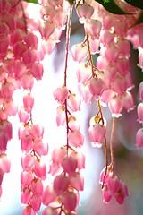 DSCF1402 (Keishi Etoh rough-and-ready photoglaph) Tags: flower fujifilm xh1 fujifilmxh1 apsc canonfdmacro50mmf35scc canon 75mm mf manualfocuslens primelens fixedfocallengthlens oldlens 単焦点 中望遠 中望遠マクロ