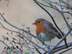 Robin (LouisaHocking) Tags: british bird forestfarm wales wild wildlife nature southwales robin