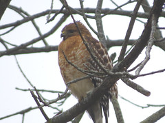 IMG_5148 (kennethkonica) Tags: nature birds animalplanet animal animaleyes autumn canonpowershot canon usa america midwest indianapolis indiana indy color outdoor wildlife