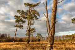 Bergvennen_Niederlande_IMG_1460 (milanpaul) Tags: 2018 baum bergvennen dezember grenze grenzregion kiefer landscape landschaft lattropbreklenkamp nsg natur naturschutzgebiet niederlande
