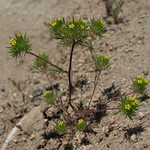 yellow pincushion plant, Navarretia breweri thumbnail