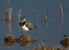 Lapwing-9308 (seandarcy2) Tags: wader plover lapwing birds wildlife marsh lincs uk