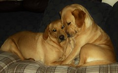 We love cuddles..x (Lisa@Lethen) Tags: dogs labradors cuddle love mother daughter couch blanket