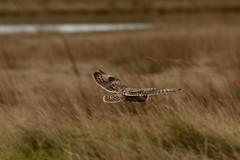 IMG_9921 (monika.carrie) Tags: monikacarrie wildlife seo shortearedowl forvie scotland owl