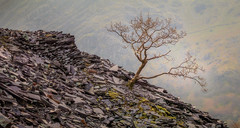 Dinorwic Tree (kieran_metcalfe) Tags: glow moss humanimpact nature industry slate light dinorwic wales abandoned snowdonia tree grey rock rocks quarry sidelight green goldenhour llanberis northwales mountain