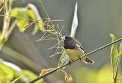 Jardín Botánico Universidad de Caldas (jhonfredyravesalazar) Tags: birds aves avistamiento udec jardínbotánico nikon sigma