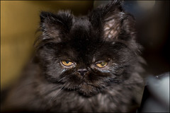 17drd0332 (dmitryzhkov) Tags: indoor cat animal pet color colour sony moscow russia city urban home
