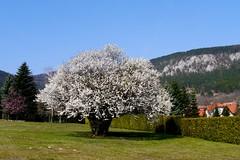 Frühling ! / Springtime ! (rudi_valtiner) Tags: frühling spring springtime flatzerwand flatz baum tree blüte blossom felswand rockwall wand wall wiese meadow garten garden niederösterreich loweraustria österreich austria autriche ie