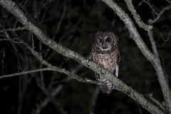 灰林鴞 (Sam's Photography Life) Tags: 灰林鴞 台灣 塔塔加 阿里山 貓頭鷹 鳥 猛禽 生態 自然 夜間攝影 夜間觀察 bird nature nikon marco tamron 100400 d850