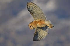 Barn owl (Tyto alba) in flight, hunting (rangerbatt) Tags: barnowl tytoalba greatsaltlakewetlands snow winter d7500 owl bird sigma150600mmsports nikon wildutah utahwildlife huntingowl owlinflight birdinflight explore