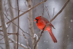 A splash of red (JD~PHOTOGRAPHY) Tags: cardinal redcardinal malecardinal bird birds wildbirds wildlife wildanimal wild red snowy winter nature naturesbeauty canon canon6d