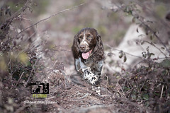 ***  A spasso nel bosco *** (fsstudiopetphotography) Tags: fsstudio fsstudiopetphoto stayfsstudio springer springerspaniel doglover spaniellover springerlover spingeroftheday spanieloftheday cane dog bosco wood sony canon nikon
