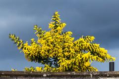 Wind blur (201903014) (Graham Dash) Tags: addlestone mimosa clouds shrubs yellow