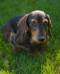 what's up dad? (IONclad Photo) Tags: 1maintags 4places 7animals alberta calgary dachshund ionclad link regardingcolour black canada close colour dog doxie flickr online other peoples weldingionclad