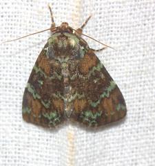 ecosystem/fauna/Trema Lichen Moth(Donda eurychlora) (biodiversity western ghats(before it is gone)) Tags: taxonomy:binomial=dondaeurychlora noctuidae dyopsinae diversityindia indianmoths