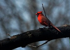 Majestic (remiklitsch) Tags: catchlight equinox vernalequinox spring winter cardinal red blue sky tree branch nature nikon remiklitsch tbt bird eye male