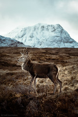 STAG (Gaël Soucheleau) Tags: scotland visitscotland hiddenscotland scotlandshots thisisscotland photography landscape nature view light sun folk folkscenery ourplanetdaily highlands photosofbritain britain visitbritain whisky lovegreatbritain naturelover art canon canonfrance canonphotography sigma sigmaart lensbible stag biche deer cerf animal animalplanet glencoe jamesbond beautiful lovely friend sky grey bleu camouflage animalphotography winter portrait wildlife
