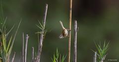 Tawny-flanked Prinia -8953 (Theo Locher) Tags: birds bruinsylangstertjie oiseaux priniasubflava tawnyflankedprinia vogels vögel zuidafrika southafrica krugernationalpark kruger copyrighttheolocher