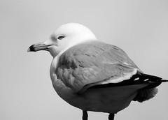(Ƹ̴Ӂ̴Ʒ Liz Ƹ̴Ӂ̴Ʒ) Tags: crazytuesday blackandwhite bird seagull