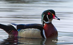 Wood duck (dnicpix) Tags: woodduck duck colors red green blue beige water bird birds dnicpix canon5dm3 sigma canon eos eos5dm3 sigma150600c 5dm3 nature wood reflection