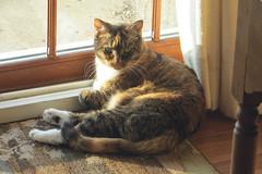 Gracie 21 November 2018 1490Ri 4x6 (edgarandron - Busy!) Tags: gracie patchedtabby cat cats kitty kitties tabby tabbies cute feline