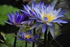 Star of Siam in its glory! (ineedathis, Everyday I get up, it's a great day!) Tags: waterlily starofsiam lily nympaea νουφαρο flowers nikond80 tropical exotic beauty pond nature water garden summer aquaticplant plant lilypads blossom petals blue yellow pistil
