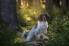 In forest (The Papa'razzi of dogs) Tags: animal cocker outdoor spaniel zigzag dog forest green hund nature pet tree wood ejstrupholm centraldenmarkregion denmark dk