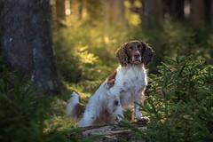 In forest (Flemming Andersen) Tags: animal cocker outdoor spaniel zigzag dog forest green hund nature pet tree wood ejstrupholm centraldenmarkregion denmark dk
