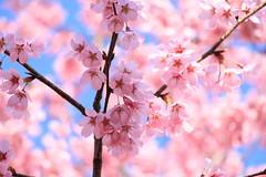 A pleasant spring day (yukky89_yamashita) Tags: 京都 車折神社 桜 春 kyoto japan shrine spring flowers sakura cherryblossoms