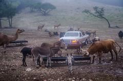 Everyone, welcome to breakfast! (Pejasar) Tags: morning fog animals ranch texas donkey longhorn cattle camel yak elk miniatureponies pickuptruck feedingtrough zebramix trees rocks