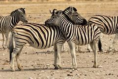 Zebra @ Nebrownii Water Hole (cb dg photo) Tags: nature okaukuejo nebrownii travel safari waterhole wildlifephotography wildlife animal etoshanationalpark etosha nambia africa zebra